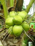 Fresh Coconut cluster Stock Images