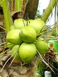 Fresh Coconut cluster Royalty Free Stock Image