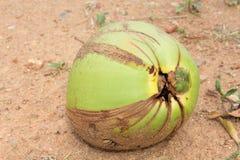 Fresh Coconut Royalty Free Stock Photography