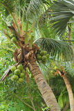 Fresh coconut on the tree Stock Image