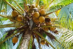 Coconut fruit on coconut tree. stock photo