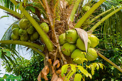 Fresh coconut on the tree, coconut cluster on coconut tree Royalty Free Stock Image
