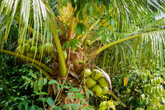 Fresh coconut on the tree, coconut cluster on coconut tree Stock Photo