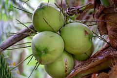 Fresh coconut on the tree royalty free stock photography