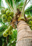 Fresh coconut tree in garden Stock Image