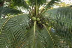 Fresh coconut on the tree Royalty Free Stock Photo