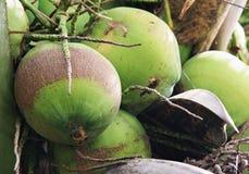 Fresh coconut on the tree Stock Image