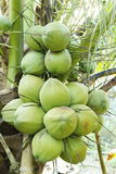 Fresh coconuts on the coconut tree Royalty Free Stock Photo