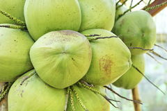 Fresh coconuts on the coconut tree Stock Photography