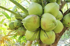 Fresh coconuts on the coconut tree Royalty Free Stock Photos