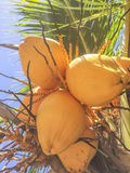 Fresh coconuts fruits at Granada islands Stock Photography