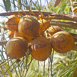 Fresh coconuts on palm Royalty Free Stock Images
