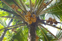 Fresh coconuts on palm Stock Photo
