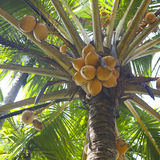 Fresh coconuts on palm Stock Images