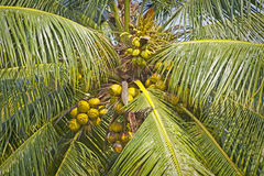 Fresh coconuts on palm Royalty Free Stock Photography