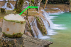 Fresh coconuts in Tad Sae Waterfalls at Luang prabang, Laos Stock Photo