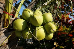 Fresh coconuts on tree Royalty Free Stock Images