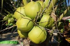 Fresh coconuts on tree Stock Photo