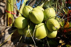 Fresh coconuts on tree Stock Images