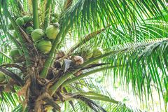 Fresh coconuts on the trees and leaves.  Royalty Free Stock Images