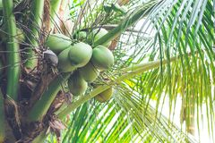 Fresh coconuts on the trees and leaves. Soft focus Royalty Free Stock Photos