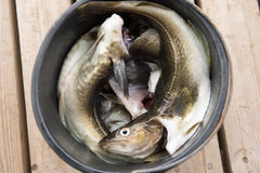 Fresh cod in a bucket Stock Photography
