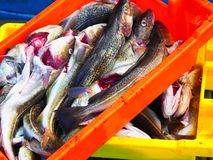 Fresh Cod Fish from a Fishing Boat royalty free stock photos