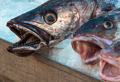Fresh cod fish for sale over ice Stock Photos