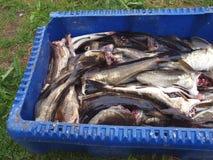 Fresh cod Stock Photos