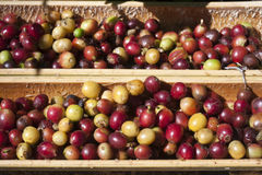 Fresh coffee bean Stock Photo