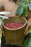Fresh coffee bean royalty free stock photography