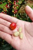 Fresh coffee bean from coffee cherry Royalty Free Stock Photos