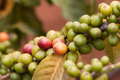 Fresh coffee bean on the coffee tree Stock Images