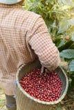 Fresh coffee bean royalty free stock photos