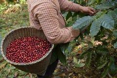 Fresh coffee bean stock photos