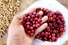 Fresh coffee bean in hand on red berries coffee Stock Photography