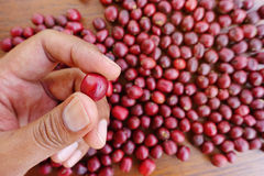 Fresh coffee bean in hand on red berries coffee Stock Photo