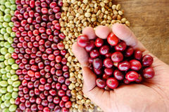 Fresh coffee bean in hand on red berries coffee Royalty Free Stock Images