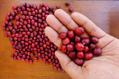 Fresh coffee bean in hand on red berries coffee Stock Image