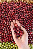 Fresh coffee bean in hand on red berries coffee Royalty Free Stock Photo