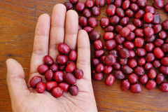 Fresh coffee bean in hand on red berries coffee Royalty Free Stock Photography