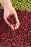 Fresh coffee bean in hand on red berries coffee Royalty Free Stock Image