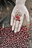 Fresh coffee bean in hand on red berries coffee backgourng Royalty Free Stock Photo