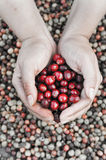 Fresh coffee bean in hand on red berries coffee backgourng Stock Images