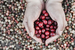 Fresh coffee bean in hand on red berries coffee backgourng Royalty Free Stock Photography