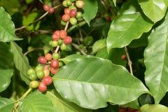 Fresh coffee bean on tree Stock Photo