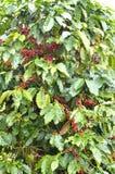 Fresh coffee bean on tree. Fresh arabica coffee bean in coffee garden Stock Images
