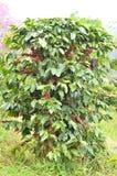 Fresh coffee bean on tree. Fresh arabica coffee bean in coffee garden Royalty Free Stock Photo