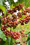 Fresh coffee bean on tree Royalty Free Stock Photo