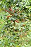Fresh coffee bean on tree. Fresh arabica coffee bean in coffee garden Royalty Free Stock Images